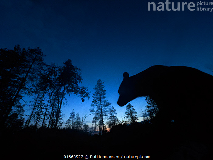 Brown bear (Ursus arctos) silhouetted in forest at night. Finland. August.  ,  Animal,Wildlife,Vertebrate,Mammal,Carnivore,Bear,Brown Bear,Animalia,Animal,Wildlife,Vertebrate,Mammalia,Mammal,Carnivora,Carnivore,Ursidae,Bear,Ursus,Ursus arctos,Brown Bear,Atmospheric Mood,Europe,Northern Europe,North Europe,Nordic Countries,Finland,Back Lit,Plant,Tree,Night,Coniferous forest,Forest,Silhouette,  ,  Pal Hermansen