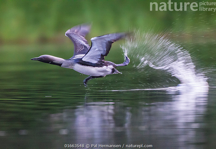 Black-throated diver (Gavia arctica) taking off from water. South Sweden. July.  ,  Animal,Wildlife,Vertebrate,Bird,Birds,Diver,Black throated diver,Animalia,Animal,Wildlife,Vertebrate,Aves,Bird,Birds,Gaviiformes,Gaviidae,Diver,Loon,Gavia,Gavia arctica,Black throated diver,Arctic loon,Black throated loon,Flying,Taking Off,Europe,Northern Europe,North Europe,Nordic Countries,Scandinavia,Sweden,Photographic Effect,Blurred Motion,Blurred Movement,Long Exposure,Water Surface,Water,  ,  Pal Hermansen