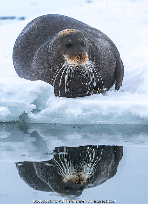 Bearded seal (Erignathus barbatus) hauled out on ice, reflected in water. Svalbard, Norway. May.  ,  Animal,Wildlife,Vertebrate,Mammal,Carnivore,True seal,Bearded seal,Arctic,Animalia,Animal,Wildlife,Vertebrate,Mammalia,Mammal,Carnivora,Carnivore,Phocidae,True seal,Pinnipeds,pinnipedia,Erignathus,Erignathus barbatus,Bearded seal,Phoca barbata,Europe,Northern Europe,North Europe,Nordic Countries,Scandinavia,Norway,Svalbard,Reflection,Ice,Ocean,Arctic Ocean,Marine,Water Surface,Water,Cold Water,Saltwater,Coldwater,Whiskers,Sea ice,Hauled out,Arctic,Marine  ,  Pal Hermansen