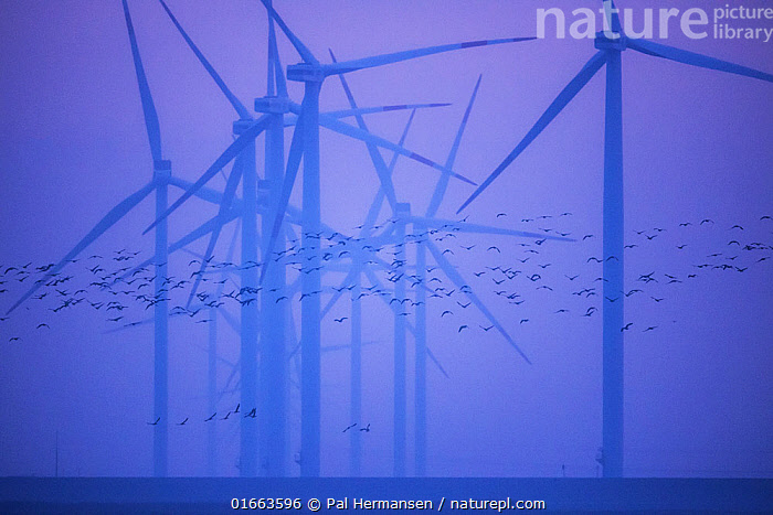 Flock of birds near wind turbines in North Sea. Rickelsbuller Koog nature reserve, North Frisia, Schleswig-Holstein, Germany. November 2019.  ,  Animal,Wildlife,Vertebrate,Bird,Birds,Animalia,Animal,Wildlife,Vertebrate,Aves,Bird,Birds,Colour,Purple,Group Of Animals,Flock,Group,Europe,Western Europe,Germany,Schleswig-Holstein,Equipment,Power Equipment,Turbine,Wind Turbine,Environment,Environmental Issues,Power supply,Renewable Energy,Marine,Water,Reserve,Saltwater,Sea,Energy,Conservation issues,Protected area,North Sea,North Frisia,  ,  Pal Hermansen