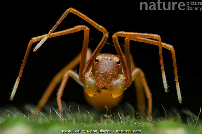 Portrait of an ant-mimicking crab spider. (Amyciaea sp) raising its legs to warn the photographer. Buxa tiger reserve, India.  ,  Animal,Wildlife,Arthropod,Arachnid,Spider,Crab spider,Animalia,Animal,Wildlife,Chelicerata,Arthropod,Chelicerate,Arthropoda,Arachnida,Arachnid,Aranae,Spider,Thomisidae,Crab spider,Asia,Indian Subcontinent,India,Portrait,Animal Behaviour,Aggression,Defensive,Invertebrate,Mimicking,West Bengal,Amyciaea,  ,  Ripan Biswas