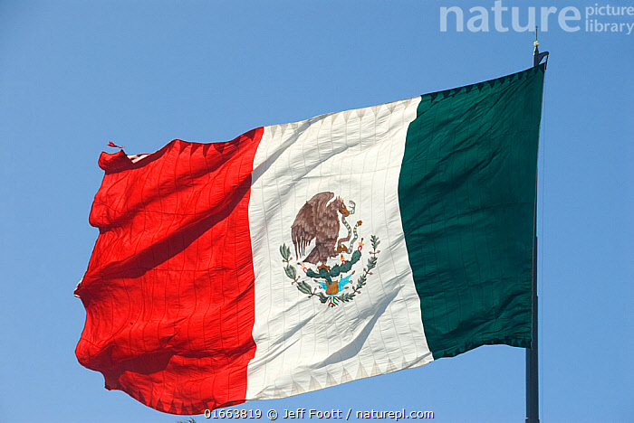 Mexican flag against blue sky. Coat of arms on flag depicting a Golden eagle (Aquila chrysaetos) feeding on Rattlesnake (Crotalus sp) whilst perched on a Prickly pear cactus (Opuntia sp), Oak (Quercus sp) and Laurel leaves at edge. Mexico.  ,  Latin America,Central America,Mexico,Coloured Background,Blue Background,Cutout,Flag,Country Flag,National Flag,Mexican Flag,Mexican Flags,  ,  Jeff Foott