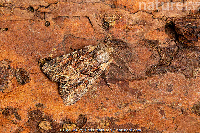 Pale-shouldered Brocade moth, (Lacanobia thalassina), Monmouthshire, Wales, May.  ,  Animal,Wildlife,Arthropod,Insect,Owlet moth,Pale shouldered brocade,Animalia,Animal,Wildlife,Hexapoda,Arthropod,Invertebrate,Hexapod,Arthropoda,Insecta,Insect,Lepidoptera,Lepidopterans,Noctuidae,Owlet moth,Noctuid,Moth,Noctuoidea,Lacanobia,Lacanobia thalassina,Pale shouldered brocade,Paleshouldered brocade,Phalaena thalassina,Dianobia thalassina,Europe,Western Europe,UK,Great Britain,Wales,Monmouthshire,  ,  Chris Mattison