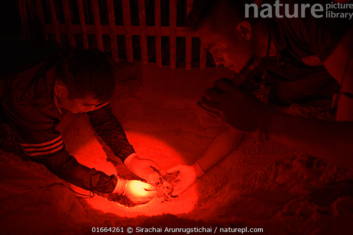 Under dim red light, marine biologist and park officials dig up the nest of a Leatherback sea turtle (Dermochelys coriacea) uncovering the hatchlings that were stuck in hard sand, prior to them into the sea, Phang-Nga Province, Thailand, February 2019.  ,  Animal,Wildlife,Vertebrate,Reptile,Testitudine,Sea turtles,Leatherback,Animalia,Animal,Wildlife,Vertebrate,Reptilia,Reptile,Chelonii,Testitudine,Dermochelyidae,Sea turtles,Turtle,Dermochelys,Dermochelys coriacea,Leatherback,Leathery Turtle,Luth,Trunkback Turtle,Testudo coriacea,Testudo lyra,Chelonia lutaria,Rescue,Rescues,Rescuing,Saving,Asia,South East Asia,Thailand,Young Animal,Baby,Hatchling,Hatchlings,Tropical,Ocean,Indian Ocean,Andaman Sea,Coast,Marine,Coastal,Water,Saltwater,Endangered species,threatened,Critically endangered  ,  Sirachai Arunrugstichai