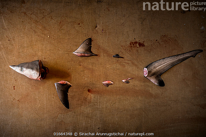 Parts of a Spottail shark (Carcharhinus sorrah) with missing body arranged on a metal table. Symbolising the declines of these marine predators from the world's oceans from various threats that they are facing, Ranong Province, Thailand.  ,  Animal,Wildlife,Vertebrate,Cartilaginous fish,Ground shark,Requiem sharks,Spottail shark,Animalia,Animal,Wildlife,Vertebrate,Chondrichthyes,Cartilaginous fish,Jawed fish,Carcharhiniformes,Ground shark,Carcharhinidae,Requiem sharks,Carcharhinus,Carcharhinus sorrah,Spottail shark,Carcharhinus spallanzani,Carcharias bleekeri,Carcharias sorrah,Asia,South East Asia,Thailand,Fin,Fins,Environment,Environmental Issues,Fishing Industry,Fishing Industries,Ideas,Death,Fisheries,Fishery,Fishing,Shark,Finning,Marine  ,  Sirachai Arunrugstichai
