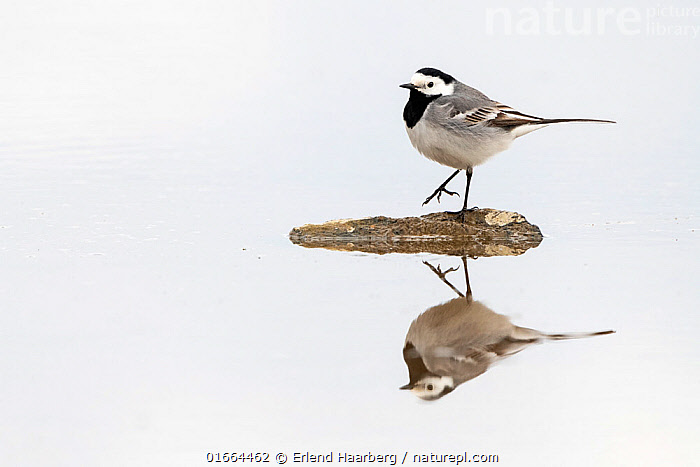 White Wagtail (Motacilla alba) reflected in water, spring, Pasvik, Norway, May.  ,  Animal,Wildlife,Vertebrate,Bird,Birds,Songbird,Wagtail,White Wagtail,Animalia,Animal,Wildlife,Vertebrate,Aves,Bird,Birds,Passeriformes,Songbird,Passerine,Motacillidae,Motacilla,Wagtail,Motacilla alba,White Wagtail,Standing,On One Leg,Balance,Colour,White,May,Europe,Northern Europe,North Europe,Nordic Countries,Scandinavia,Norway,Copy Space,Plain Background,Animal Feet,Feet,Foot,Reflection,Spring,Freshwater,Water,Pool,Negative space,  ,  Erlend Haarberg