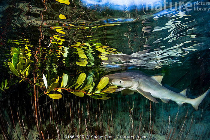 Lemon shark juvenile (Negaprion brevirostris) trying to feed on the leaves of a red mangrove (Rhizophora mangle). As pups, the sharks have to learn to hunt for themselves and sometimes make mistakes. Plant matter is indigestible and the sharks soon spit it out. Eleuthera, Bahamas.  ,  Plant,Vascular plant,Flowering plant,Rosid,Mangrove,True mangroves,Red mangrove,Animal,Wildlife,Vertebrate,Cartilaginous fish,Ground shark,Requiem sharks,Lemon sharks,Lemon shark,Plantae,Plant,Tracheophyta,Vascular plant,Magnoliopsida,Flowering plant,Angiosperm,Spermatophyte,Spermatophytina,Angiospermae,Malpighiales,Rosid,Dicot,Dicotyledon,Rosanae,Rhizophoraceae,Mangrove,Rhizophora,True mangroves,True mangrove trees,Rhizophora mangle,Red mangrove,American mangrove,Bruguiera decangulata,Rhizophora americana,Rhizophora samoensis,Animalia,Animal,Wildlife,Vertebrate,Chondrichthyes,Cartilaginous fish,Jawed fish,Carcharhiniformes,Ground shark,Carcharhinidae,Requiem sharks,Negaprion,Lemon sharks,Negaprion brevirostris,Lemon shark,Carcharias fronto,Hypoprion brevirostris,Negaprion fronto,Crisis,Humorous,The Caribbean,Caribbean,West Indies,Young Animal,Baby,Pups,Leaf,Foliage,Root,Island,Islands,Tide,Tides,Coast,Marine,Coastal waters,Underwater,Water Surface,Coastal Wetland,Coastal,Water,Habitat,Feeding,Saltwater,Biodiversity hotspots,Shark,Mouthful,Tidal,Great Bahama Bank,Eleuthera,Marine  ,  Shane Gross
