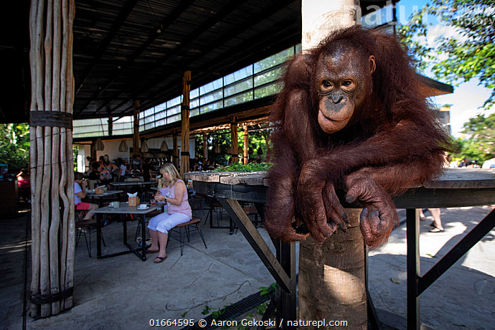 Orangutan (Pongo sp.) during a �Breakfast with the Orangutans Experience' at Bali Zoo, Indonesia. Such attractions increase the risk of disease transmission between humans and animals. April 2019.  ,  Animal,Wildlife,Vertebrate,Mammal,Ape,Great ape,Orangutan,Animalia,Animal,Wildlife,Vertebrate,Mammalia,Mammal,Primate,Primates,Hominidae,Ape,Great ape,Hominoidea,Pongo,Orangutan,Orang utan,Ponginae,Cruelty,Asia,South East Asia,Indonesia,Zoo,Zoos,Travel,Tourism,Biodiversity hotspot,Animal Cruelty,  ,  Aaron Gekoski
