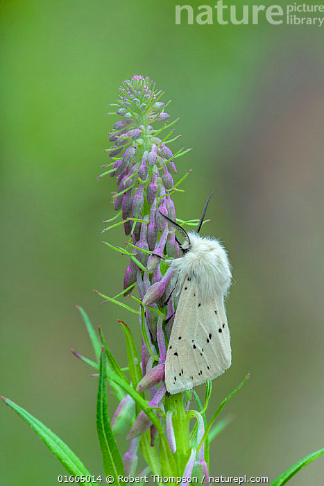 White ermine moth (Spilosoma lubricipeda) resting on Willowherb , County Down, Northern Ireland, UK. June.  ,  Animal,Wildlife,Arthropod,Insect,Tiger moth,White ermine,Animalia,Animal,Wildlife,Hexapoda,Arthropod,Invertebrate,Hexapod,Arthropoda,Insecta,Insect,Lepidoptera,Lepidopterans,Arctiidae,Tiger moth,Arctiid moth,Erebidae,Moth,Noctuid moth,Noctuid,Owlet moth,Noctuoidea,Spilosoma,Spilosoma lubricipeda,White ermine,Europe,Western Europe,UK,Northern Ireland,Down,Banbridge,  ,  Robert  Thompson