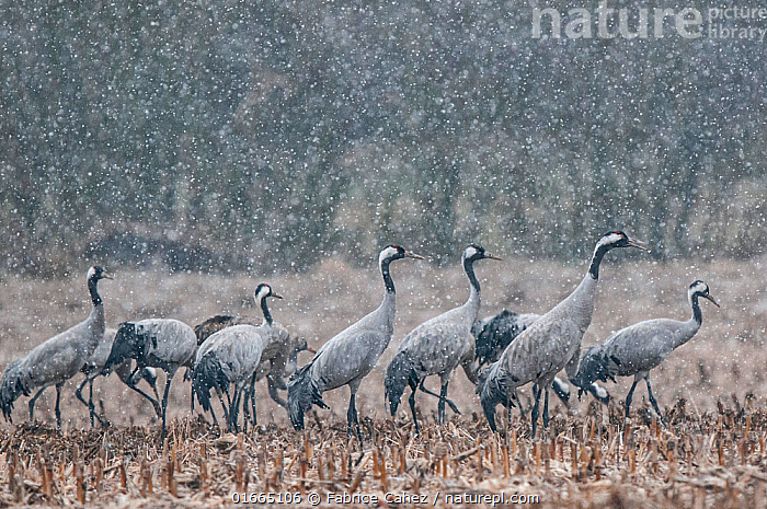 Common crane (Grus grus) flock feeding in field in snow, Champagne, France, February.  ,  Animal,Wildlife,Vertebrate,Bird,Birds,Crane,Common crane,Animalia,Animal,Wildlife,Vertebrate,Aves,Bird,Birds,Gruiformes,Gruidae,Crane,Grus,Grus grus,Common crane,Eurasian crane,Group Of Animals,Flock,Group,Europe,Western Europe,France,Agricultural Land,Cultivated Land,Field,Snow,Weather,Snowing,Snowfall,Winter,Farmland,  ,  Fabrice Cahez