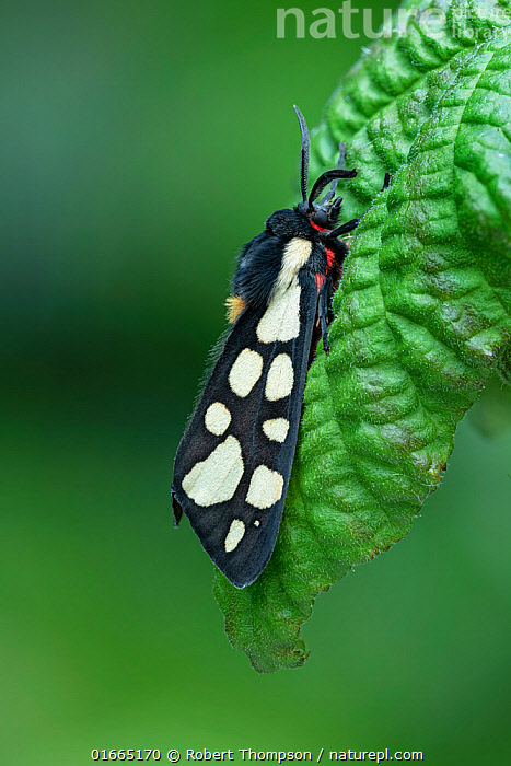 Cream-spot tiger (Arctia villica) Lac du Salagou, South of France, May  ,  Animal,Wildlife,Arthropod,Insect,Tiger moth,Cream spot tiger moth,Animalia,Animal,Wildlife,Hexapoda,Arthropod,Invertebrate,Hexapod,Arthropoda,Insecta,Insect,Lepidoptera,Lepidopterans,Arctiidae,Tiger moth,Arctiid moth,Erebidae,Moth,Noctuid moth,Noctuid,Owlet moth,Noctuoidea,Arctia,Arctia villica,Cream spot tiger moth,Phalaena villica,Colour,White,Pattern,Spotted,May,Europe,Western Europe,France,Profile,Side View,Animal markings,  ,  Robert  Thompson