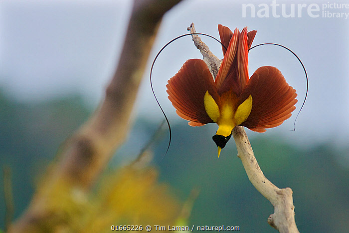 Red Bird-of-Paradise (Paradisaea rubra) male performing practice display at tree-top lek, Raja Ampat, Indonesia. *Medium repro only.  ,  Animal,Wildlife,Vertebrate,Bird,Birds,Songbird,Bird of paradise,Red bird of paradise,Animalia,Animal,Wildlife,Vertebrate,Aves,Bird,Birds,Passeriformes,Songbird,Passerine,Paradisaeidae,Bird of paradise,Paradisaea,Paradisaea rubra,Red bird of paradise,Practising,Courting,Upside Down,Oceania,Melanesia,New Guinea,Copy Space,Male Animal,Plant,Treetop,Treetops,Tree,Tree Canopy,Tree Canopies,Feather,Wing,Tropical,Rainforest,Animal Behaviour,Reproduction,Mating Behaviour,Courtship,Display,Forest,West Irian Jaya,Irian Jaya,Indonesia,Lekking,Wings spread,Wingspan,Tail Feather,Negative space,  ,  Tim  Laman