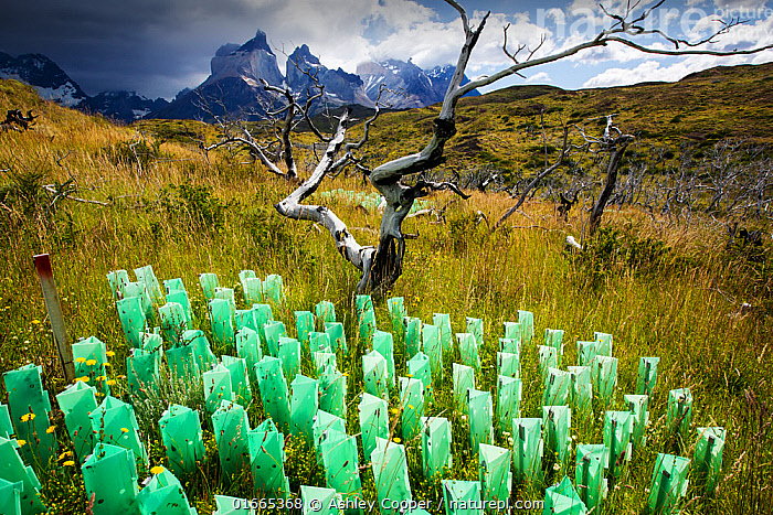 Reforestation of an area destroyed by bush fires, tree guards protecting saplings, mountains in background. Torres del Paine National Park, Patagonia, Chile. January 2020.  ,  Growth,Hope,Protection,Dead,Latin America,South America,Chile,Patagonia,Plant,Tree,Natural Disaster,Forest Fire,Forest Fires,Landscape,Reserve,Conservation,Death,Protected area,National Park,Protector,Torres del Paine,Torres del Paine National Park,Magallanes and Chilean Antarctica Region,Magallanes Region,Magallanes,Puerto Natales,  ,  Ashley Cooper