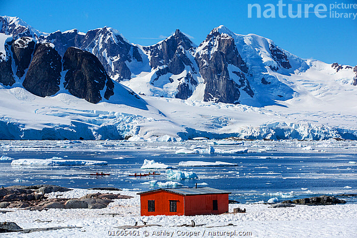 Gentoo penguin (Pygoscelis papua) colony on rocks around hut on Petermann Island, tourists from expedition cruise ship sea kayaking in Southern Ocean. Mountains of Graham Land in background. Antarctica. December 2019.  ,  Animal,Wildlife,Vertebrate,Bird,Birds,Penguin,Gentoo penguin,Animalia,Animal,Wildlife,Vertebrate,Aves,Bird,Birds,Sphenisciformes,Penguin,Seabird,Spheniscidae,Pygoscelis,Pygoscelis papua,Gentoo penguin,People,Tourist,Tourists,Adventure,Colour,Red,Group Of Animals,Animal Colony,Group,Antarctica,Antarctic,Polar,Building,Hut,Huts,Mountain,Ice,Glacier,Snow,Ocean,Landscape,Sport,Sports,Water Sport,Kayaking,Travel,Tourism,Coast,Marine,Coastal,Water,Saltwater,Antarctic ocean,Sea ice,Southern ocean,Antarctic Peninsula,Graham Land,Wilhelm Archipelago,Petermann Island,Flightless  ,  Ashley Cooper