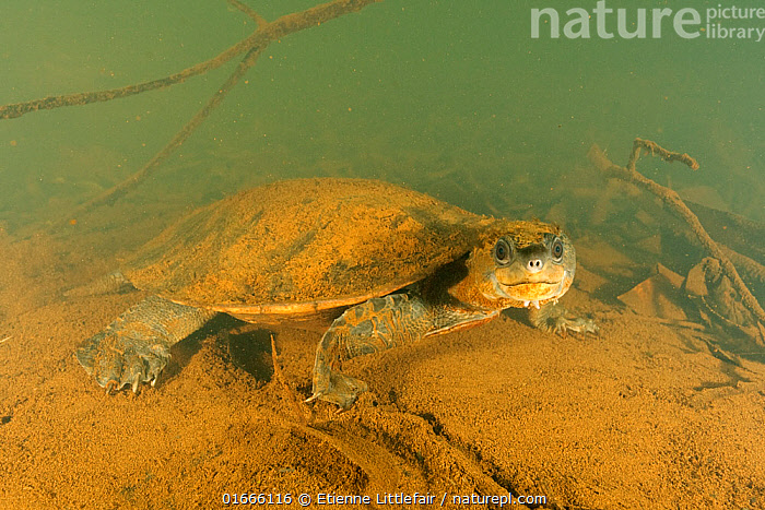 Irwin's turtle (Elseya irwini), adult male resting. Note the sediment disturbance to the rear of the turtle is caused by expulsion of water via cloacal respiration. North Johnstone River, downstream of Malanda, Far North Queensland, Australia.  ,  Animal,Wildlife,Vertebrate,Reptile,Testitudine,Genitals,Reproductive organs,Reproduction,Sex organ,White-throated snapping turtle,Irwin&#39,s Turtle,Animalia,Animal,Wildlife,Vertebrate,Reptilia,Reptile,Chelonii,Testitudine,Australasia,Australia,Queensland,Portrait,Male Animal,Riverbed,Riverbeds,Flowing Water,River,Freshwater,Underwater,Water,Adult,Reproductive system,Genitalia,Eye contact,Genitals,Reproductive organs,Reproduction,Sex organ,Cloaca,Direct Gaze,Looking,Elseya,White-throated snapping turtle,Elseya irwini,Irwin&#39,s Turtle,  ,  Etienne Littlefair