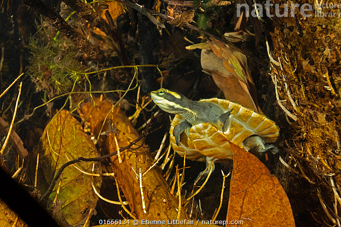 Northern yellow-faced turtle (Emydura tanybaraga), young juvenile resting in a sheltered spot in a shallow stretch of Berry Creek, Northern Territory, Australia. Cropped.  ,  Animal,Wildlife,Vertebrate,Reptile,Testitudine,River turtles,Northern Yellow-faced Turtle,Animalia,Animal,Wildlife,Vertebrate,Reptilia,Reptile,Chelonii,Testitudine,Geoemydidae,River turtles,Turtle,Emydura,Resting,Rest,Camouflage,Australasia,Australia,Northern Territory,Young Animal,Flowing Water,River,Freshwater,Underwater,Water,Ventral view,Underside,Emydura tanybaraga,Northern Yellow-faced Turtle,  ,  Etienne Littlefair