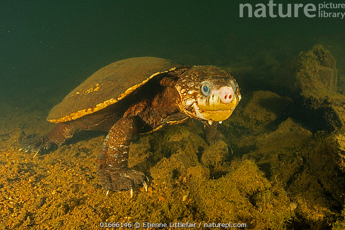 White-throated snapping turtle (Elseya albagula), large adult female with cataracts, found active, walking along the bottom of a deep pool in the upstream of the Mary River, Queensland, Australia. August. NOTE: a small amount of back-scatter caused by the photographer was cloned out of the top right hand corner.  ,  Animal,Wildlife,Vertebrate,Reptile,Testitudine,White-throated snapping turtle,Animalia,Animal,Wildlife,Vertebrate,Reptilia,Reptile,Chelonii,Testitudine,Camouflage,Disease,Ill,Illnesses,Poorly,Sick,Sickness,Australasia,Australia,Queensland,Portrait,Female animal,Animal Eye,Eyes,Riverbed,Riverbeds,Flowing Water,River,Freshwater,Underwater,Water,Adult,Murky,Elseya,Elseya albagula,White-throated snapping turtle,  ,  Etienne Littlefair