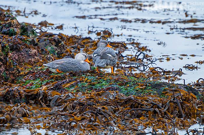 Magellanic flightless steamer duck (Tachyeres pteneres), territorial pair on foreshore, Beagle Channel, Patagonia, Argentina  ,  Animal,Wildlife,Vertebrate,Bird,Birds,Water fowl,Waterfowl,Steamer duck,Flightless steamer duck,Animalia,Animal,Wildlife,Vertebrate,Aves,Bird,Birds,Anseriformes,Water fowl,Galloanserans,Waterfowl,Anatidae,Tachyeres,Steamer duck,Steamerduck,Tadorninae,Tachyeres pteneres,Flightless steamer duck,Flightless steamerduck,Magellanic flightless steamerduck,Racehorse,Seahorse,Loggerhead,Latin America,South America,Argentina,Patagonia,Coast,Coastal,Animal Behaviour,Territorial,Male female pair,Territories,Territory,Wildfowl,Duck,Ducks,Flightless  ,  Tui De Roy