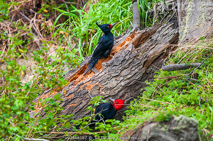 Magellanic woodpecker (Campephilus magellanicus), pair foraging on wind-felled beech tree, Beagle Channel, Patagonia, Argentina  ,  Animal,Wildlife,Vertebrate,Bird,Birds,Woodpecker,Magellanic woodpecker,Animalia,Animal,Wildlife,Vertebrate,Aves,Bird,Birds,Piciformes,Picidae,Campephilus,Woodpecker,Picinae,Campephilus magellanicus,Magellanic woodpecker,Foraging,Latin America,South America,Argentina,Patagonia,Male female pair,  ,  Tui De Roy