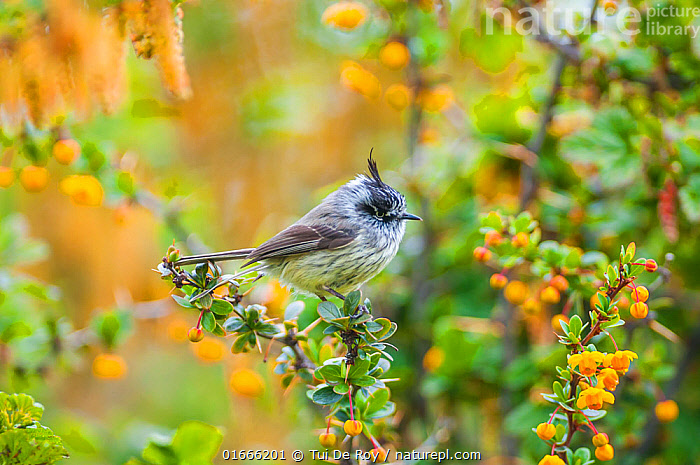 Tufted tit-tyrant (Anairetes parulus) in Patagonian scrubland habitat, Beagle Channel, Patagonia, Argentina  ,  Animal,Wildlife,Vertebrate,Bird,Birds,Songbird,Tyrant flycatcher,Tyrant,Animalia,Animal,Wildlife,Vertebrate,Aves,Bird,Birds,Passeriformes,Songbird,Passerine,Tyrannidae,Tyrant flycatcher,Anairetes,Tyrant,Tit tyrant,Latin America,South America,Argentina,Patagonia,Anairetes parulus,  ,  Tui De Roy