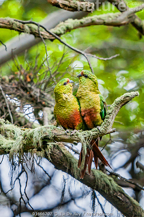 Austral parakeet (Enicognathus ferrugineus), courting pair in southern beech (Nothofagus) forest, Beagle Channel, Patagonia, Argentina  ,  Plant,Vascular plant,Flowering plant,Rosid,Southern beech tree,Animal,Wildlife,Vertebrate,Bird,Birds,Parrot,True parrot,Neotropical parrots,Austral parakeet,Plantae,Plant,Tracheophyta,Vascular plant,Magnoliopsida,Flowering plant,Angiosperm,Spermatophyte,Spermatophytina,Angiospermae,Fagales,Rosid,Dicot,Dicotyledon,Rosanae,Nothofagaceae,Nothofagus,Southern beech tree,Southern beech,Animalia,Animal,Wildlife,Vertebrate,Aves,Bird,Birds,Psittaciformes,Parrot,Psittacines,Psittacidae,True parrot,Psittacoidea,Enicognathus,Neotropical parrots,Arini,Arinae,Enicognathus ferrugineus,Austral parakeet,Austral conure,Emerald parakeet,Courting,Latin America,South America,Argentina,Patagonia,Animal Behaviour,Reproduction,Mating Behaviour,Courtship,Male female pair,Parakeet,Parakeets  ,  Tui De Roy