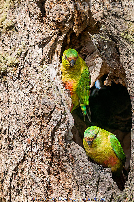 Austral parakeet (Enicognathus ferrugineus), investigating potential nest cavity in southern beech (Nothofagus) forest, Beagle Channel, Patagonia, Argentina  ,  Plant,Vascular plant,Flowering plant,Rosid,Southern beech tree,Animal,Wildlife,Vertebrate,Bird,Birds,Parrot,True parrot,Neotropical parrots,Austral parakeet,Plantae,Plant,Tracheophyta,Vascular plant,Magnoliopsida,Flowering plant,Angiosperm,Spermatophyte,Spermatophytina,Angiospermae,Fagales,Rosid,Dicot,Dicotyledon,Rosanae,Nothofagaceae,Nothofagus,Southern beech tree,Southern beech,Animalia,Animal,Wildlife,Vertebrate,Aves,Bird,Birds,Psittaciformes,Parrot,Psittacines,Psittacidae,True parrot,Psittacoidea,Enicognathus,Neotropical parrots,Arini,Arinae,Enicognathus ferrugineus,Austral parakeet,Austral conure,Emerald parakeet,Latin America,South America,Argentina,Patagonia,Animal Home,Nest,Nest hole,Parakeet,Parakeets  ,  Tui De Roy