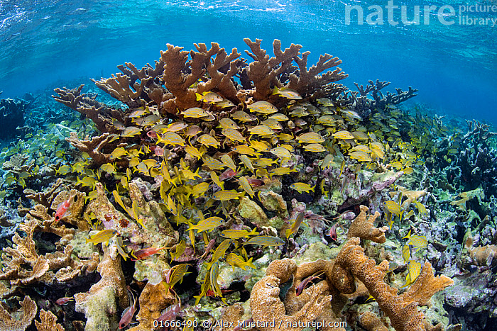 RF - Mixed school of Bluestriped grunts (Haemulon sciurus), French grunts (Haemulon flavolineatum) and Schoolmasters ( Lutjanus apodus) shelter in Elkhorn corals (Acropora palmata) growing in shallow water. Jardines de la Reina, Gardens of the Queen National Park, Cuba. Caribbean Sea. (This image may be licensed either as rights managed or royalty free.)  ,  Animal,Wildlife,Cnidarian,Anthrozoan,Hard coral,Coral,Acropora coral,Elkhorn coral,Vertebrate,Ray-finned fish,Percomorphi,Snapper,Schoolmaster,Grunt,Grunts,Blue striped grunt,French grunt,Animalia,Animal,Wildlife,Cnidaria,Cnidarian,Coelentrerata,Anthozoa,Anthrozoan,Scleractinia,Hard coral,Acroporidae,Coral,Acropora,Acropora coral,Acropora palmata,Elkhorn coral,Vertebrate,Actinopterygii,Ray-finned fish,Osteichthyes,Bony fish,Fish,Perciformes,Percomorphi,Acanthopteri,Lutjanidae,Snapper,Lutjanus,Lutjanus apodus,Schoolmaster,Schoolmaster snapper,Schooly,Dogtooth snapper,Neomaneis apodus,Perca apoda,Sparus caxis,Haemulidae,Grunt,Haemulon,Grunts,Haemulon sciurus,Blue striped grunt,Sparus sciurus,Haemulon flavolineatum,French grunt,Open-mouthed grunt,Banana grunt,Yellow grunt,Redmouth grunt,Diabasis flavolineatus,The Caribbean,Caribbean,West Indies,Tropical,Reef,Reefs,Coral Reef,Coral Reefs,Ocean,Caribbean Sea,Marine,Underwater,Water,Saltwater,Biodiversity hotspots,RF,Royalty free,Gardens of the Queen National Park,Jardines de la Reina,RF6,Invertebrate,Invertebrates,Marine,Endangered species,threatened,Critically endangered,RF,Royalty free, RF6,RF,Royalty free, RF6,  ,  Alex Mustard