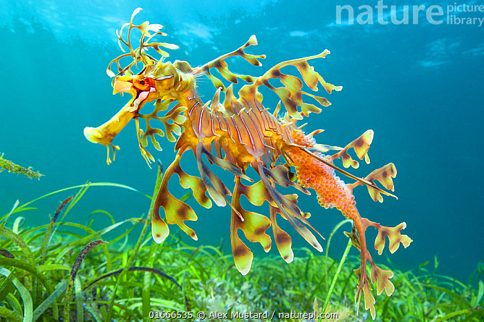 Leafy seadragon (Phycodurus eques) male carrying eggs, swims over seagrass meadow. Wool Bay, Edithburgh, South Australia. Gulf of St Vincent.  ,  Animal,Wildlife,Vertebrate,Ray-finned fish,Leafy seadragon,Animalia,Animal,Wildlife,Vertebrate,Actinopterygii,Ray-finned fish,Osteichthyes,Bony fish,Fish,Syngnathiformes,Syngnathidae,Phycodurus,Phycodurus eques,Leafy seadragon,Glauert&#39,s sea-dragon,Phyllopteryx eques,Phycodorus eques,Camouflage,Australasia,Australia,South Australia,Animal Eggs,Egg,Eggs,Tropical,Underwater,Water,Marine  ,  Alex Mustard