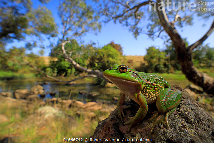 Growling grass frog (Litoria raniformis) basking on rock beside Merri Creek. Melbourne, Australia. 2017. Controlled conditions.  ,  Animal,Wildlife,Vertebrate,Frog,Tree frog,Australasian treefrog,Animalia,Animal,Wildlife,Vertebrate,Amphibia,Anura,Frog,Hylidae,Tree frog,Litoria,Australasian treefrog,Australasian treefrogs,Australasia,Australia,Victoria,Female animal,Riverbank,Flowing Water,River,Freshwater,Water,Amphibian,Litoria raniformis,Victoria,Melbourne,Green and gold frog,Growling grass frog,Southern bell frog,Warty bell frog,Blue-thighed treefrog,Endangered Species,Vulnerable,Threatened  ,  Robert Valentic