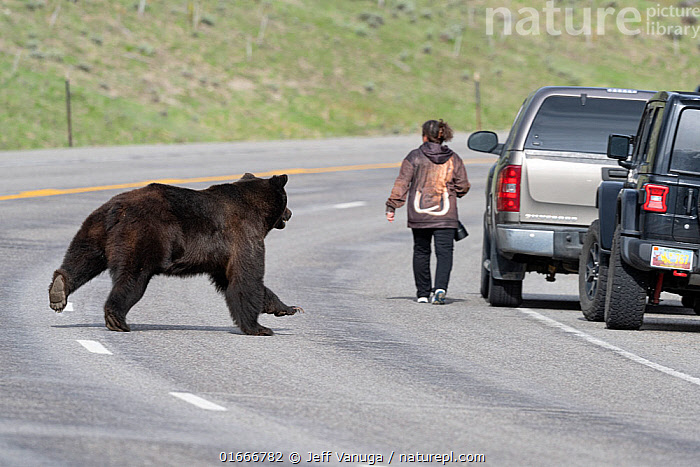 Grizzly bear (Ursus arctos horribilis) boar / male chasing female bear on the other side of the road, with tourist returning to her car. Togwotee Pass in the Bridger-Teton National Forest, Wyoming, USA. May.  ,  Animal,Wildlife,Vertebrate,Mammal,Carnivore,Bear,danger,Brown Bear,Grizzly bear,American,Animalia,Animal,Wildlife,Vertebrate,Mammalia,Mammal,Carnivora,Carnivore,Ursidae,Bear,Ursus,Ursus arctos,Brown Bear,People,Tourist,Tourists,North America,USA,Western USA,Wyoming,Road,Grizzly bear,American,United States of America,  ,  Jeff Vanuga