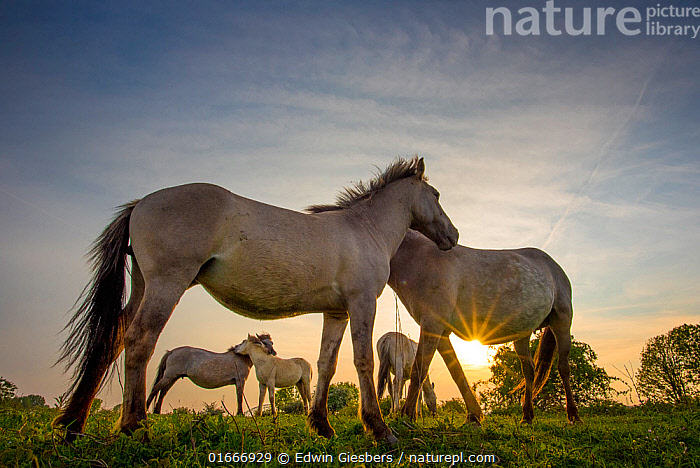 Konik horses (Equus ferus caballus) interacting at sunset, floodplain of the river Rijn, Meinerswijk near Arnhem, the Netherlands. May  ,  Equus ferus caballus,Equus caballus,Group Of Animals,Herd,Group,Europe,Western Europe,The Netherlands,Holland,Netherlands,Animal,Sunset,Setting Sun,Sunsets,Beautiful,Restoration,Domestic animal,Domestic Horse,Conservation,Konik,Domesticated,Rewilding,Equus ferus caballus,Equus caballus,Dusk,Horse,Mammal,  ,  Edwin Giesbers