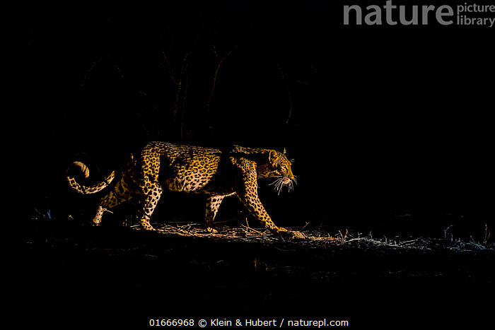 Leopard (Panthera pardus) hunting at night, South Luangwa National Park, Zambia.  ,  Animal,Wildlife,Vertebrate,Mammal,Carnivore,Cat,Big cat,Leopard,Animalia,Animal,Wildlife,Vertebrate,Mammalia,Mammal,Carnivora,Carnivore,Felidae,Cat,Panthera,Big cat,Panthera pardus,Leopards,Africa,Zambia,Southern Africa,Copy Space,Profile,Side View,Night,Predator,Animal Behaviour,Predation,Hunting,Reserve,Leopard,Protected area,National Park,Negative space,Endagered species,Threatened,Vulnerable  ,  Klein & Hubert