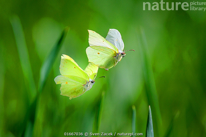 Brimstone butterfly(Gonepteryx rhamni) male and female during mating flight, early spring. Tartumaa county, Southern Estonia. May.  ,  Animal,Wildlife,Arthropod,Insect,Butterfly,Brimstone,Animalia,Animal,Wildlife,Hexapoda,Arthropod,Invertebrate,Hexapod,Arthropoda,Insecta,Insect,Lepidoptera,Lepidopterans,Pieridae,Butterfly,Papilionoidea,Gonepteryx,Gonepteryx rhamni,Brimstone,Common brimstone,Papilio rhamni,Flying,Colour,Yellow,Two,Europe,Eastern Europe,East Europe,Baltic Countries,Estonia,Spring,Summer,Beautiful,Animal Behaviour,Reproduction,Mating Behaviour,Delicate,  ,  Sven Zacek
