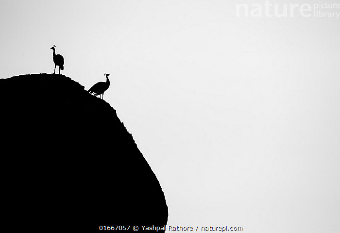Two Peafowl (Pavo cristatus) silhouetted, India.  ,  Animal,Wildlife,Vertebrate,Bird,Birds,Peafowl,Common peafowl,Animalia,Animal,Wildlife,Vertebrate,Aves,Bird,Birds,Galliformes,Galliforms,Galloanserae,Phasianidae,Pavo,Peafowl,Peacock,Peahen,Phasianinae,Pavo cristatus,Common peafowl,Indian peafowl,Blue peafowl,Indian peacock,Creativity,Creative,Ingenious,Two,Asia,Indian Subcontinent,India,Plain Background,White Background,B/W,Monochromatic,Back Lit,Arty shots,Silhouette,  ,  Yashpal Rathore