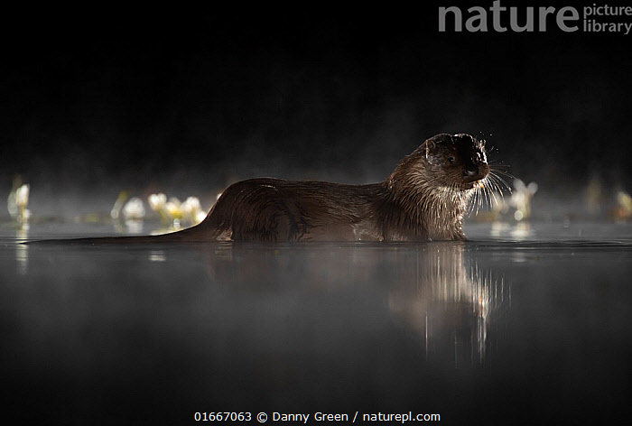 European river otter (Lutra lutra) in mist reflected in water at night. Lincolnshire, UK, September.  ,  Animal,Wildlife,Vertebrate,Mammal,Carnivore,Mustelid,River otter,Common Otter,Animalia,Animal,Wildlife,Vertebrate,Mammalia,Mammal,Carnivora,Carnivore,Mustelidae,Mustelid,Lutra,River otter,Lutra lutra,Common Otter,Eurasian Otter,European Otter,European River Otter,Old World Otter,Atmospheric Mood,Dark,Europe,Western Europe,UK,Great Britain,England,Lincolnshire,Copy Space,Reflection,Night,Water,Arty shots,Negative space,  ,  Danny Green