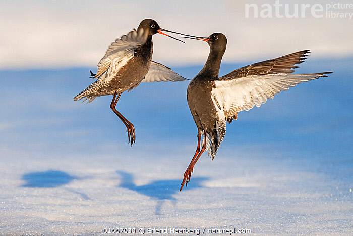Spotted redshank (Tringa erythropus), two males fighting in snow. Pasvik, Norway, May.  ,  Animal,Wildlife,Vertebrate,Bird,Birds,Sandpiper,Spotted redshank,Animalia,Animal,Wildlife,Vertebrate,Aves,Bird,Birds,Charadriiformes,Scolopacidae,Sandpiper,Wader,Shorebird,Tringa,Tringa erythropus,Spotted redshank,Dusky redshank,Shanks,Rivalry,Rival,Rivals,Mid Air,Two,Europe,Northern Europe,North Europe,Nordic Countries,Scandinavia,Norway,Male Animal,Snow,Animal Behaviour,Aggression,Fighting,Two animals,Troms og Finnmark,Troms and Finnmark,Pasvik,  ,  Erlend Haarberg