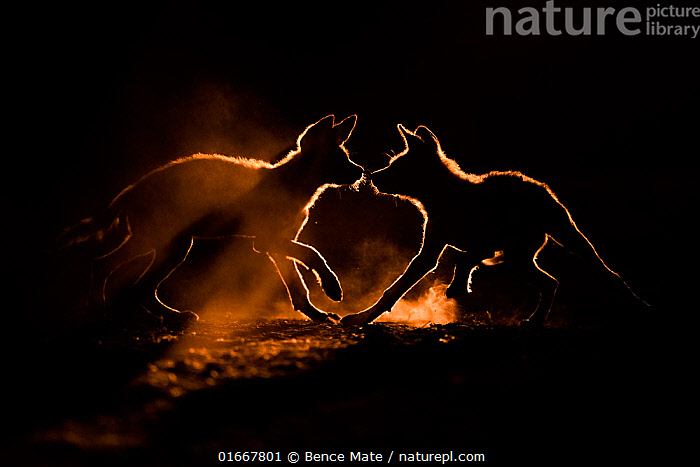 Wild dog (Lycaon pictus) two pups playing in dust, Mkuze, South Africa. August. Highly commended in the Mammals category of the GDT European Wildlife Photographer of the Year Competition 2020.  ,  Animal,Wildlife,Vertebrate,Mammal,Carnivore,Canid,Dog,African Wild Dog,Animalia,Animal,Wildlife,Vertebrate,Mammalia,Mammal,Carnivora,Carnivore,Canidae,Canid,Lycaon,Dog,Lycaon pictus,African Wild Dog,Cape Hunting Dog,Painted Hunting Dog,Two,Africa,Southern Africa,South Africa,Back Lit,Young Animal,Dust,Dusty,Animal Behaviour,Playing,Competition winner,South African,Photography award,Endangered species,threatened,Endangered  ,  Bence Mate
