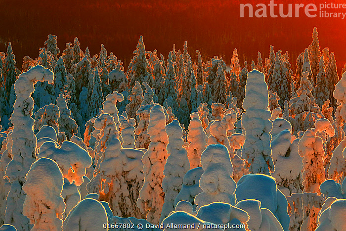 Snow-covered taiga forest in Finland. Honoured in the MontPhoto awards 2020.  ,  Europe,Northern Europe,North Europe,Nordic Countries,Finland,Back Lit,Plant,Tree,Evergreen Tree,Coniferous Tree,Conifers,Snow,Landscape,Winter,Taiga,Boreal forest,Forest,Competition winner,Conifer,Photography award,  ,  David Allemand