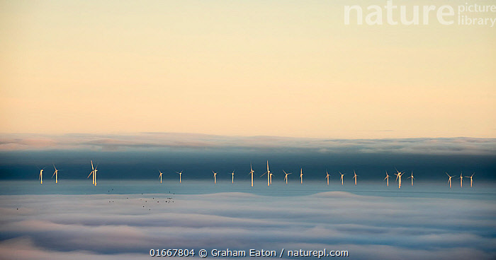 Hoyle Bank Windfarm in fog, with a flock of migrating birds, viewed from near Holywell, Flintsire, Wales, December. Winner of  Changing Landscapes category of Landscape Photographer of the Year competition 2020.  ,  wales,wind,windfarm,holywell,fog,blanket,eaton,elements,energy,offshore,tutbine,flock,migrating,migrate,travel,,Animal,Wildlife,Vertebrate,Bird,Birds,Animalia,Animal,Wildlife,Vertebrate,Aves,Bird,Birds,Migration,Europe,Western Europe,UK,Great Britain,Wales,Copy Space,Equipment,Power Equipment,Turbine,Wind Turbine,Infrastructure,Energy Infrastructure,Energy Infrastructures,Wind Farm,Wind Farms,Sky,Mist,Winter,Environment,Environmental Issues,Power supply,Renewable Energy,Animal Behaviour,Competition winner,Energy,Negative space,Photography award,  ,  Graham Eaton