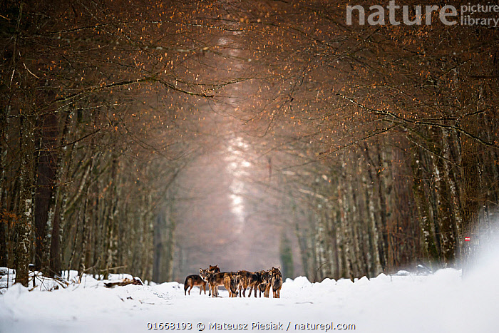 Eurasian wolf (Canis lupus lupus) pack in snow, forest in  Bialowieza National Park. Poland. January 2019. Received Honour award at the Mont Photo 2020 Competition.  ,  Animal,Wildlife,Vertebrate,Mammal,Carnivore,Canid,Grey Wolf,Animalia,Animal,Wildlife,Vertebrate,Mammalia,Mammal,Carnivora,Carnivore,Canidae,Canid,Canis,Canis lupus,Grey Wolf,Common Wolf,Wolf,Group,Temperature,Cold,Europe,Eastern Europe,East Europe,Poland,Plant,Tree,Snow,Landscape,Winter,Habitat,Reserve,Forest,Competition winner,Protected area,National Park,Photography award,  ,  Mateusz Piesiak