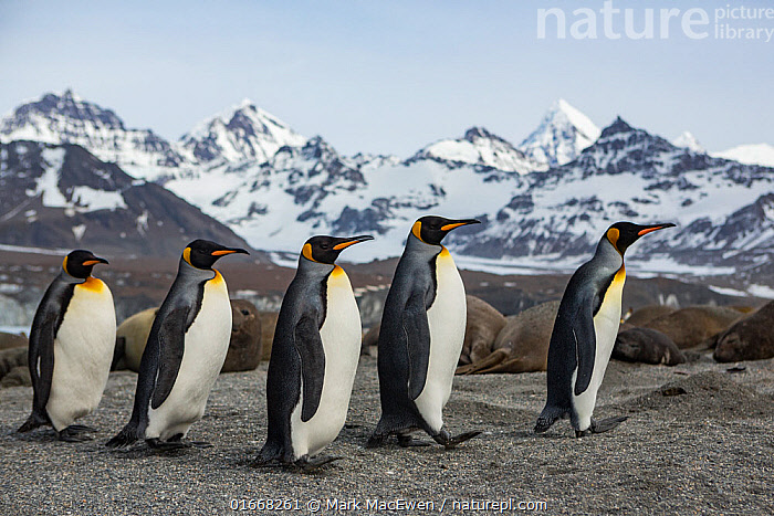 King penguin (Aptenodytes patagonicus) group walking past Southern elephant seal (Mirounga leonina) colony, mountains in background. St Andrews Bay, South Georgia. October 2017.  ,  Animal,Wildlife,Vertebrate,Bird,Birds,Penguin,King penguin,Animalia,Animal,Wildlife,Vertebrate,Aves,Bird,Birds,Sphenisciformes,Penguin,Seabird,Spheniscidae,Aptenodytes,Aptenodytes patagonicus,King penguin,Walking,Journey,Group Of Animals,Group,Medium Group,Snowcapped,Mountain,Subantarctic islands,South Georgia Island,Safety in Numbers,Moving,Five animals,St Andrews Bay,Movement,Flightless  ,  Mark MacEwen