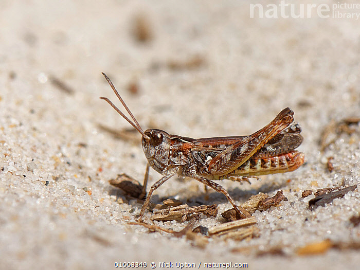 Mottled grasshopper (Myrmeleotettix maculatus) standing on a bare patch in sandy heathland with its hind legs raised off the hot sand, Dorset, UK, June.  ,  Animal,Wildlife,Arthropod,Insect,Orthopterida,Grasshopper,Slantfaced grasshopper,Mottled grasshopper,Animalia,Animal,Wildlife,Hexapoda,Arthropod,Invertebrate,Hexapod,Arthropoda,Insecta,Insect,Orthoptera,Orthopterida,Acrididae,Grasshopper,Short horned grasshopper,Acrid,Acridoidea,Caelifera,Myrmeleotettix,Slantfaced grasshopper,Slant faced grasshopper,Gomphocerinae,Myrmeleotettix maculatus,Mottled grasshopper,Gomphocerus maculatus,Europe,Western Europe,UK,Great Britain,England,Dorset,Sands,Heathland,Heath,  ,  Nick Upton