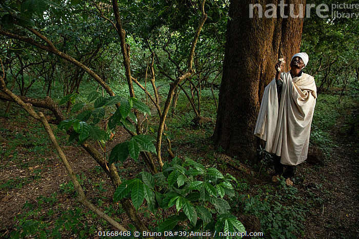 Priest under East African yellowwood (Afrocarpus gracilior) tree in church forest. Church forests remain largely intact within a degraded landscape as they are considered sacred. Near Zege, Ethiopia. 2018.  ,  Plant,Vascular plant,Conifer,Plantae,Plant,Tracheophyta,Vascular plant,Pinopsida,Conifer,Gymnosperm,Spermatophyte,Pinophyta,Coniferophyta,Coniferae,Spermatophytina,Gymnospermae,Pinales,Podocarpaceae,People,African Descent,East African Descent,Ethiopian Ethnicity,Religious Role,Spirituality,Sacred,Spiritual,Africa,East Africa,Ethiopia,Reserve,Forest,Protected area,Biodiversity hotspots,Eastern Afromontane,biodiversity hotspot,UNESCO Biosphere Reserve,Coniferous,Lake Tana Biosphere Reserve,Amhara,Afrocarpus,Afrocarpus gracilior,East African yellowwood,African fern pine,Yellowwood,Tree,Trees  ,  Bruno D'Amicis