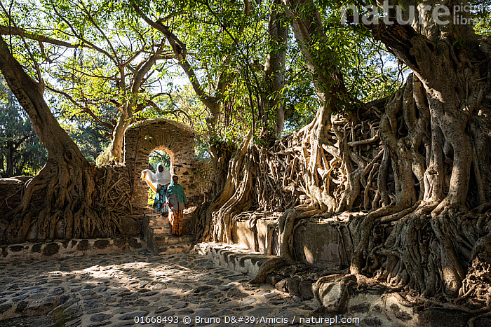 Fig (Ficus sp) trees with roots sprawling over walls of Fasiladas' Bath Complex, women entering through doorway. Gondar, Ethiopia. 2018.  ,  Plant,Vascular plant,Flowering plant,Rosid,Fig,Plantae,Plant,Tracheophyta,Vascular plant,Magnoliopsida,Flowering plant,Angiosperm,Spermatophyte,Spermatophytina,Angiospermae,Rosales,Rosid,Dicot,Dicotyledon,Rosanae,Moraceae,Ficus,Fig,Fig tree,People,Woman,Africa,East Africa,Ethiopia,Root,Tree,Courtyard,Courtyards,Biodiversity hotspots,Eastern Afromontane,biodiversity hotspot,Amhara,Gondar,  ,  Bruno D'Amicis
