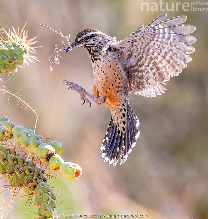 Cactus wren (Campylorhynchus brunneicapillus) nest building on Chain cholla cactus (Opuntia fulgida), in flight with nesting material in beak. Arizona, USA.  ,  Animal,Wildlife,Vertebrate,Bird,Birds,Songbird,Wren,Cactus wren,American,Animalia,Animal,Wildlife,Vertebrate,Aves,Bird,Birds,Passeriformes,Songbird,Passerine,Troglodytidae,Wren,Campylorhynchus,Campylorhynchus brunneicapillus,Cactus wren,Northern cactus wren,Flying,Landing,North America,USA,Western USA,Southwest USA,Arizona,Plant,Succulent,Succulents,Cactus,Cacti,Animal Behaviour,Nesting behaviour,Nest building,American,Gathering nesting material,United States of America,  ,  Jack Dykinga