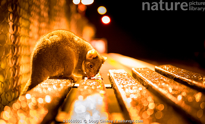 Ringtail possum (Pseudocheirus peregrinus) licks water droplets from a train station bench at night. 