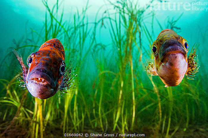 Cunner (Tautogolabrus adspersus) pair in Eelgrass (Zostera marina) bed. Newfoundland, Canada. September.  ,  Plant,Vascular plant,Flowering plant,Monocot,Seagrass,Eel grass,Common eelgrass,Animal,Wildlife,Vertebrate,Ray-finned fish,Percomorphi,Wrasses,Plantae,Plant,Tracheophyta,Vascular plant,Magnoliopsida,Flowering plant,Angiosperm,Spermatophyte,Spermatophytina,Angiospermae,Alismatales,Monocot,Monocotyledon,Lilianae,Zosteraceae,Seagrass,Sea grass,Zostera,Eel grass,Eelgrass,Zostera marina,Common eelgrass,Seawrack,Zostera pacifica,Zostera latifolia,Alga marina,Animalia,Animal,Wildlife,Vertebrate,Actinopterygii,Ray-finned fish,Osteichthyes,Bony fish,Fish,Perciformes,Percomorphi,Acanthopteri,Labridae,Wrasses,Colour,Colourful,Two,North America,Canada,Newfoundland and Labrador,Mouth,Ocean,Atlantic Ocean,Marine,Underwater,Water,Temperate,Male female pair,Saltwater,Eye contact,Two animals,Direct Gaze,Open Mouth,Looking,Seagrass bed,Newfoundland,Tautogolabrus,Tautogolabrus adspersus,Blue perch,Cunner,Chogset,Sea perch,Bait-sealer,Bergall,Cachogset,Aquatic,Pondweed,Pondweeds  ,  Shane Gross