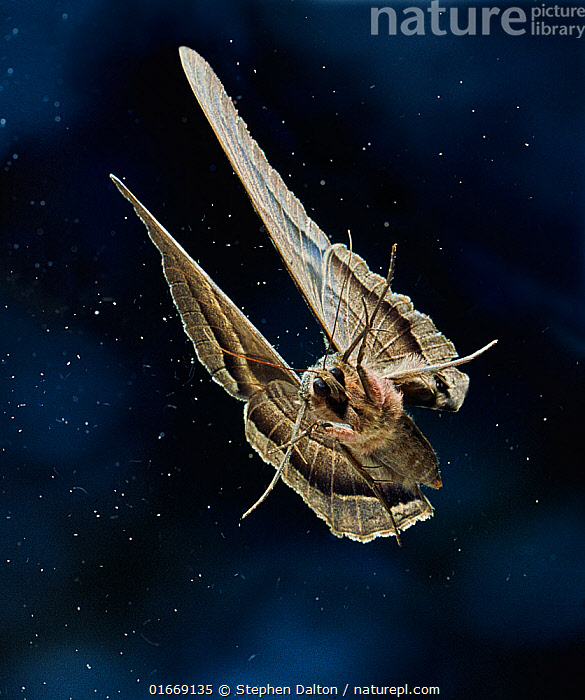 Black witch moth (Ascalapha odorata) in flight, Venezuela. This large moth has a 7 inch wingspan. Wingscales being shed during flight.  ,  Animal,Wildlife,Arthropod,Insect,Owlet moth,Black witch,Animalia,Animal,Wildlife,Hexapoda,Arthropod,Invertebrate,Hexapod,Arthropoda,Insecta,Insect,Lepidoptera,Lepidopterans,Noctuidae,Owlet moth,Noctuid,Moth,Noctuoidea,Ascalapha,Ascalapha odorata,Black witch,Erebus odorata,Erebus odora,Erebus agarista,Flying,Size,Large,Latin America,South America,Venezuela,Front View,High Speed,Scale,Animal Scale,Scaly,  ,  Stephen  Dalton