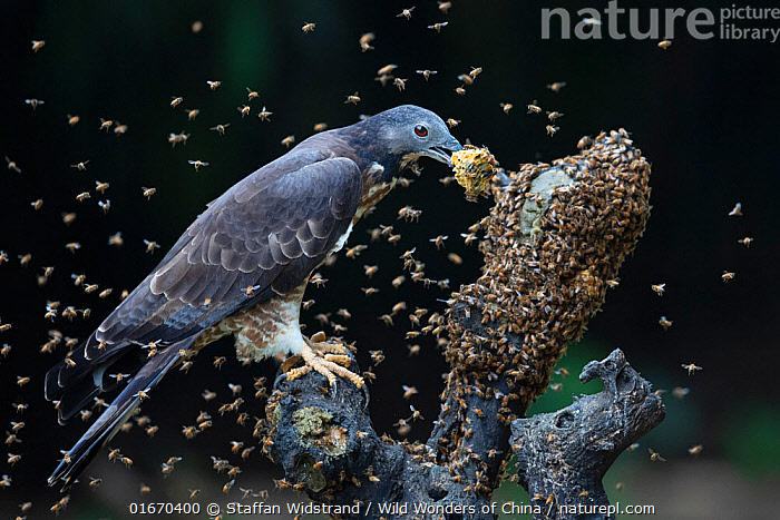 Oriental / Crested honey buzzard (Pernis ptilorhynchus) feeding on honeycomb surrounded by bees, Chayi, Taiwan. Controlled conditions  ,  Animal,Wildlife,Vertebrate,Bird,Birds,Buzzard,Animalia,Animal,Wildlife,Vertebrate,Aves,Bird,Birds,Accipitriformes,Accipitridae,Pernis,Buzzard,Bird of prey,Raptor,Swarm,Swarms,Group,Large Group,Asia,East Asia,Taiwan,Nationalist Republic Of China,Animal Home,Nest,Beehive,Beehives,Animal Behaviour,Defensive,Feeding,Multitude,Interesting,Birds of Prey,Pernis ptilorhynchus,  ,  Staffan Widstrand / Wild Wonders of China