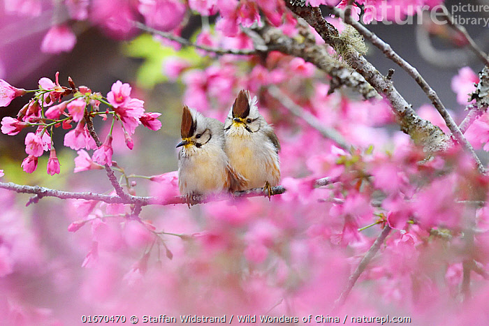 Taiwan yuhina (Yuhina brunneiceps) pair perched amongst pink blossom, Alishan National Scenic Area, Taiwan. Endemic species  ,  Animal,Wildlife,Vertebrate,Bird,Birds,Songbird,Taiwan yuhina,Animalia,Animal,Wildlife,Vertebrate,Aves,Bird,Birds,Passeriformes,Songbird,Passerine,Zosteropidae,Cute,Adorable,Colour,Pink,Asia,East Asia,Taiwan,Nationalist Republic Of China,Plant,Flower,Spring,Beautiful,Endemic,Yuhina,Yuhina brunneiceps,Taiwan yuhina,  ,  Staffan Widstrand / Wild Wonders of China